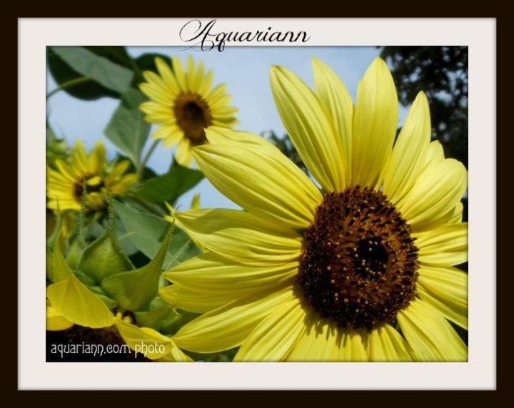 Aquariann-sunflower-garden