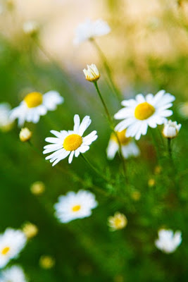Alba Rosa-Seven ways to use Chamomile