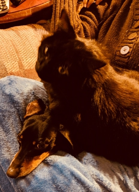 Black cat and dachshund crowded onto lap