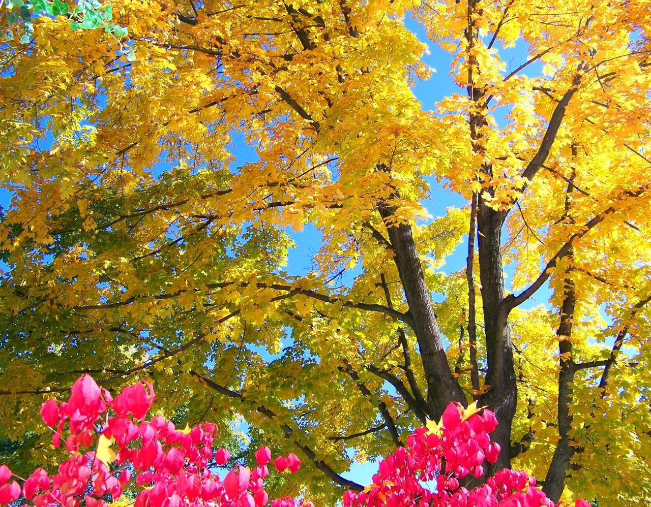 autumn-maple-tree-and-burning-bush