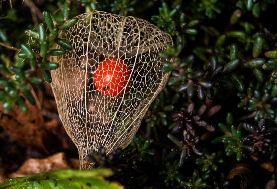 chinese-lantern-plant-