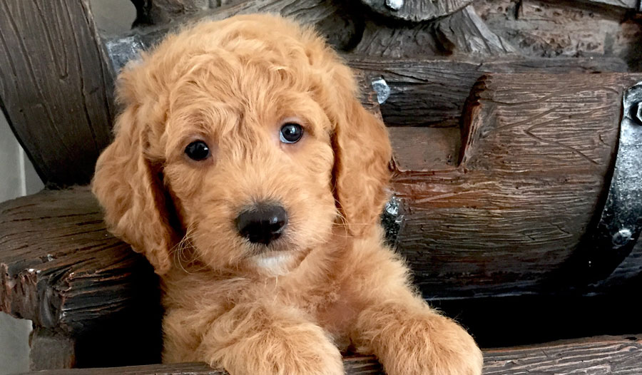 goldendoodle_puppy_2