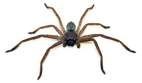 spider-karryon