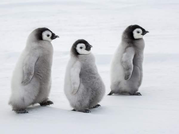 Weddell Sea Emperor Penguins