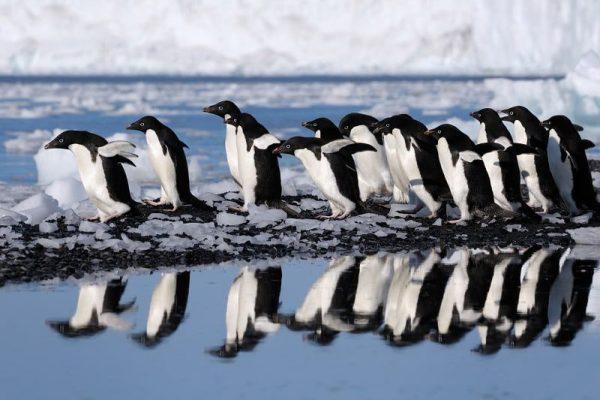 Ross Sea Adelie Penguins
