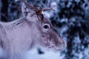 Reindeer feature