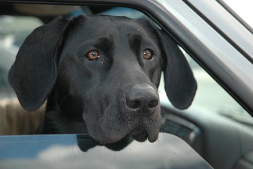 black Labrador Retriever in car
