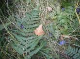 Grenouille rousse au pied du prunier