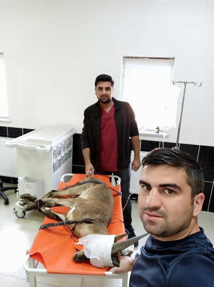 Erzurum'da bulunan yaban keçisi Kars'ta tedaviye alındı