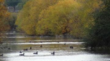 Yeşilbaş ördekler üniversite sulak alanında
