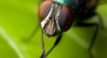 Τι ακριβώς συμβαίνει όταν κάθεται μια μύγα στο φαγητό μας;