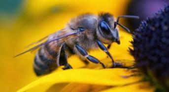 Νεοκοτινοειδή φυτοφάρμακα απειλούν τις μέλισσες