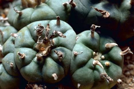 Peyote_Cactus