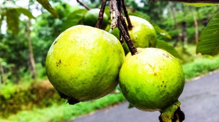 Guava-Exotische-Früchte-in-Thailand-18-Sorten-die-man-probieren-muss-83