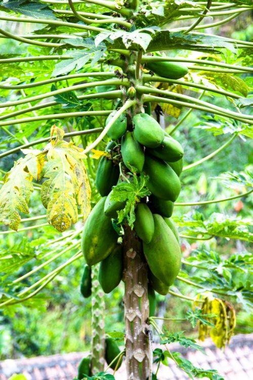 Papaya-Exotische-Früchte-in-Thailand-18-Sorten-die-man-probieren-muss-31