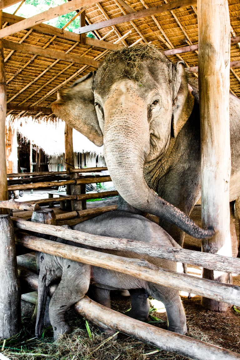 Thai-Elephant-Conservation-Center-Lampang-Elefantendorf-Thailand-47