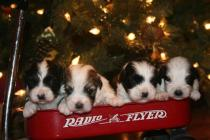 Havanese puppies for sale in charlotte