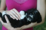 black and white havanese puppy dog laying on its back