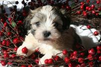 Havanese in a wreath Christmas puppy dog picture