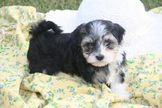 black and white havanese puppy dog for sale