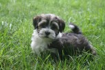 sable and white havanese puppies playing in the grass