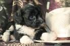 black and white havanese puppy glamor shot