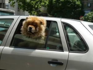 Dog Lion Cross Breed