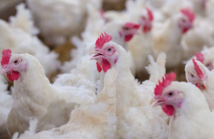 No case of Bird Flu reported in Kulgam: CAHO