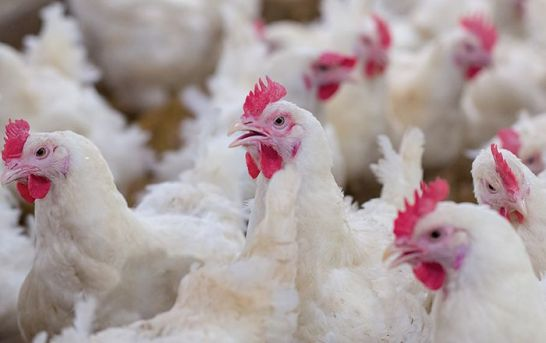 No case of bird flu among poultry confirmed in crows, migratory birds: Officials