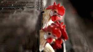 Bird Flu: Samples sent test negative, no case reported yet in J&K: Officials