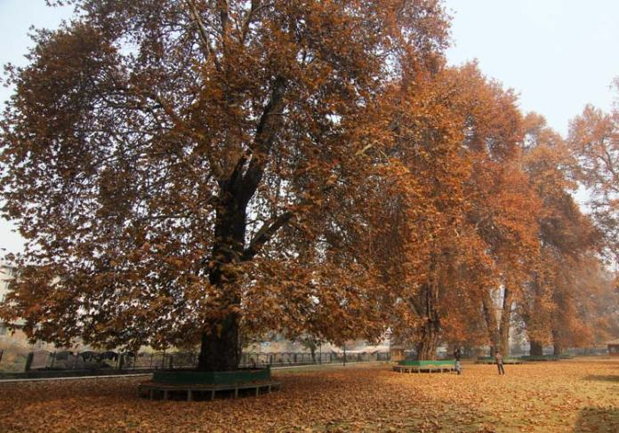 Platanus orientalis or oriental plane or chinar is a large, deciduous tree of the Platanaceae family, growing to 30 m (98 ft) or more, and known for its longevity and spreading crown.