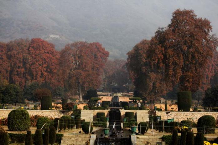 Native to Persia, Italy, Belgium, America and Greece, chinar trees were planted on a large scale across the length and breadth of the valley by Mughal emperor Jahangir during his reign from 1605 to 1627 though the origin of the plant in Kashmir is believed to be much earlier than the Mughal period. Later rulers declared it a protected tree as it became a symbol of Kashmir's heritage and beauty.