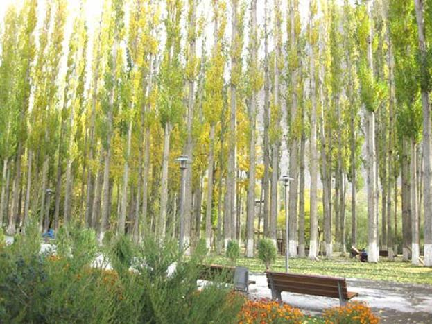 Poplar-Trees-in-Kashmir-Life