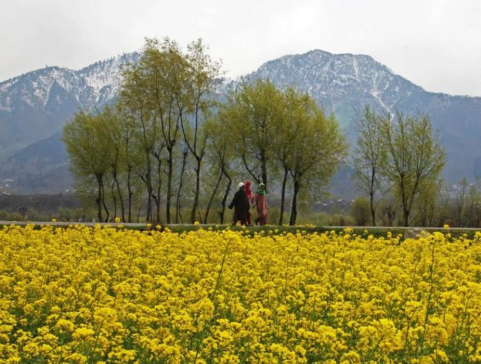 People walks throw mustard field in central Kashmir Ganderbal on Wednesday 16, March 2016.PHOTO BY BILAL BAHADUR
