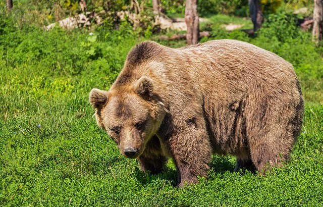 Conservationists fear brown bears rescued in J&K 'will never return to the wild'