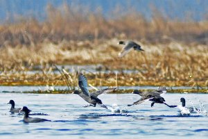 Migratory Bird Census Starts In Valley Wetlands