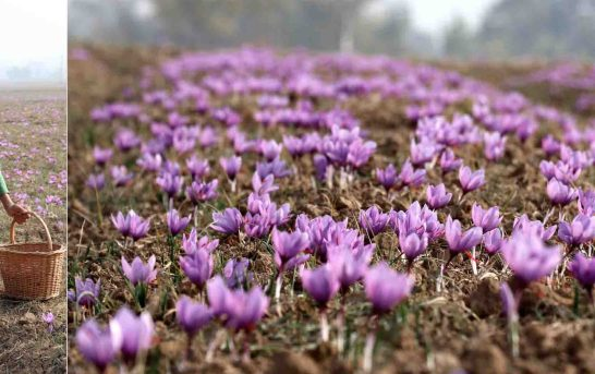 Kashmir Expects Bumper Saffron Crop This Season