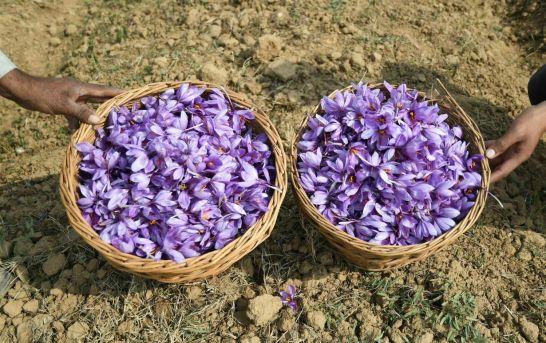 Saffron Blooms In Kashmir