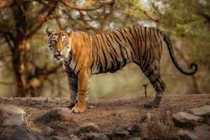Tigers, Like Humans, Should Also Be Punished for Eating Cows: MLA