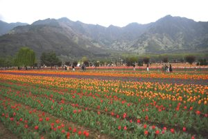 Floriculture Deptt Adds 1 Lakh More Tulip Bulbs This Year