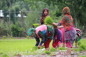 Paddy Nursery Management Amid Covid-19 Pandemic