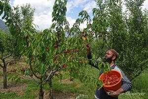 Despite 'Cherry on Top', Kashmiri Growers Frown Over 'Fruitless' Season