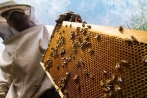'Lockdown Has Broken the Backbone of J&K's Beekeeping Industry'