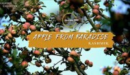 Kashmir Apple Grapples With Politics and Pandemic