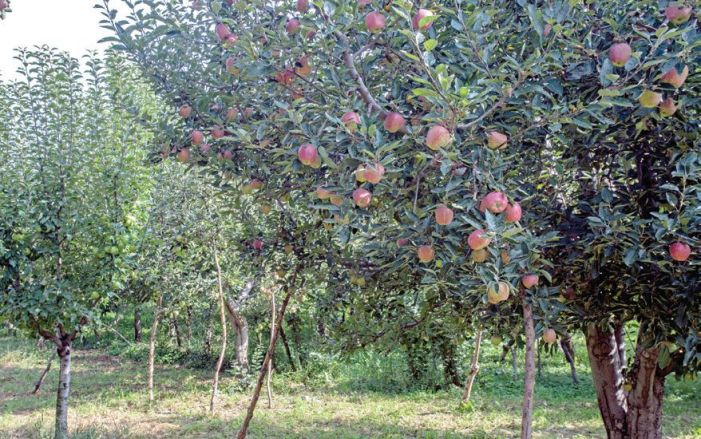 Junk Traditional Planting and Adopt High-Density Apple Plantation
