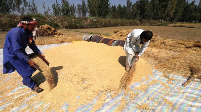 In harvest season, farmers hit hard by shortage of migrant labourers