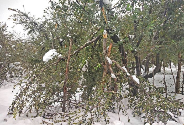 Fearful of untimely snowfall, apple growers begin early pruning of trees