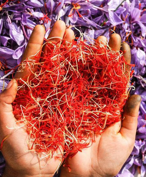 Kashmir scientists claim success of 'indoor cultivation' of saffron