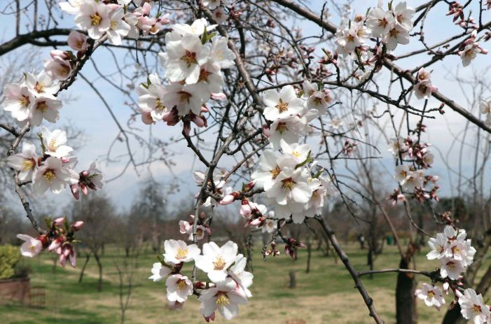 Badam Vaer (Almond Alcove) in full bloom