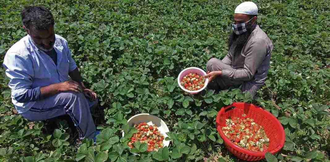 Farmers harvest strawberries on the outskirts of Srinagar on Saturday